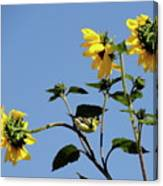 Wild Canary Sunflowers Canvas Print