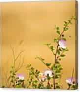 wild caper plant Capparis spinosa Canvas Print