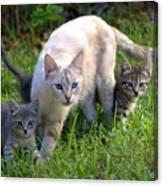 Wild Cats In Hialeah Canvas Print