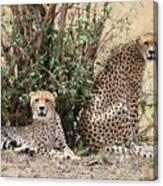 Wild Cheetahs Canvas Print