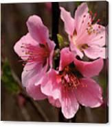 Wild Cherry Blossom Canvas Print