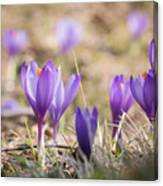 Wild Crocus Balkan Endemic Canvas Print