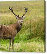 Wild Deer Animals   Canvas Print