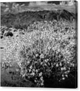 Wild Desert Flowers Blooming In Black And White In The Anza-borrego Desert State Park Canvas Print