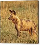 Wild Dog Of Botswana Canvas Print