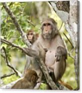 Wild Florida Monkies One Canvas Print