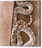 Wild Friendly Gopher Snake Canvas Print