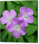 Wild Geranium Triplet  Canvas Print