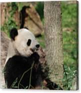 Wild Giant Panda Bear Eating Bamboo Shoots Canvas Print