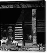 Wild Goats Ghost Town White Oaks New Mexico 1968 Canvas Print