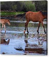Wild Horse And Foal Cross Salt River Canvas Print