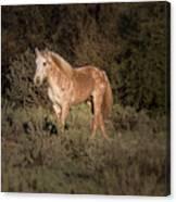Wild Horse At Sunset Canvas Print