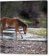 Wild Horse Crosses Salt River Canvas Print