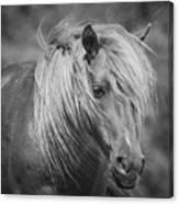 Wild Horse Of Assateague Canvas Print