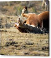 Wild Horse With and Itch Canvas Print