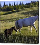 Wild Horses Near Glacier National Park Canvas Print