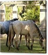 Wild Horses Of Cumberland Canvas Print