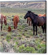 Wild Horses Of White Mountain Canvas Print