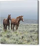 Wild Horses - Steens 1 Rw Canvas Print