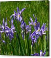 Wild Iris 1 Canvas Print