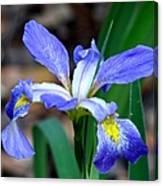 Wild Iris 3 Canvas Print