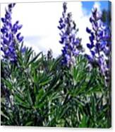 Wild Lupines Canvas Print