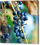 Wild Michigan Grapes Canvas Print