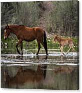 Wild Mother And Foal Horses Walk In The Salt River  Canvas Print