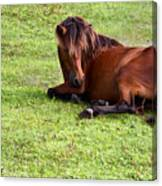 Wild Mustang At Rest Canvas Print