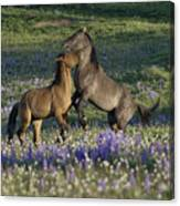 Wild Mustangs Playing 2 Canvas Print