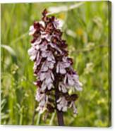 Wild Orchid In Meadow  Canvas Print