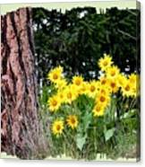 Wild Oyama Sunflowers Canvas Print