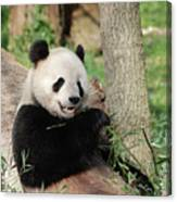 Wild Panda Bear Eating Bamboo Shoots While Leaning Against A Tre Canvas Print