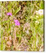 Wild Pink Dianthus Canvas Print