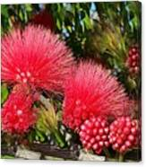 Wild, Red Fluffy Flowers  Canvas Print