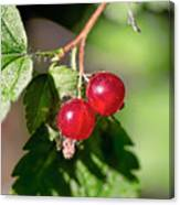 Wild Red Goosberries Canvas Print