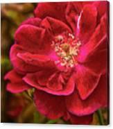 Wild Rose As Oil Canvas Print