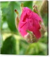 Wild Rose Bud Canvas Print