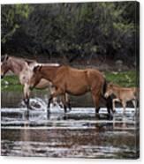 Wild Salt River Horses River Walk Canvas Print