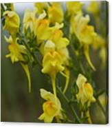 Wild Toadflax Canvas Print