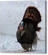Wild Tom Turkey In Winter Canvas Print
