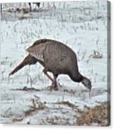 Wild Turkey - Meleagris Gallopavo Canvas Print