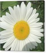 Wilddaisy Canvas Print