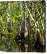 Wildflowers And Cypress Trunks In Florida Swamp Canvas Print