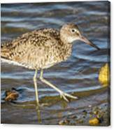 Willet Feeding In The Marsh 1 Canvas Print