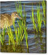 Willet Feeding In The Marsh 2 Canvas Print