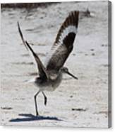 Willet Take-off Canvas Print