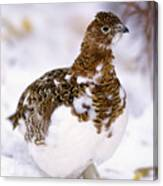 Willow Ptarmigan Canvas Print