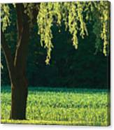 Willow Weeping Canvas Print