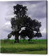 Windswept Tree Canvas Print